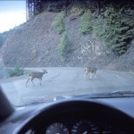 White Tail Crashes to Rise in Next Two Months