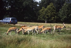 5:1 Ratio Increases Chances of Deer-Vehicle Crashes, Auto Insurance Rise