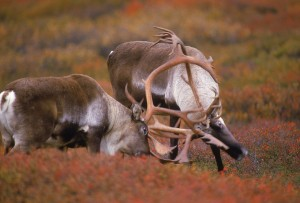 November a High Risk Month for Deer Collisions